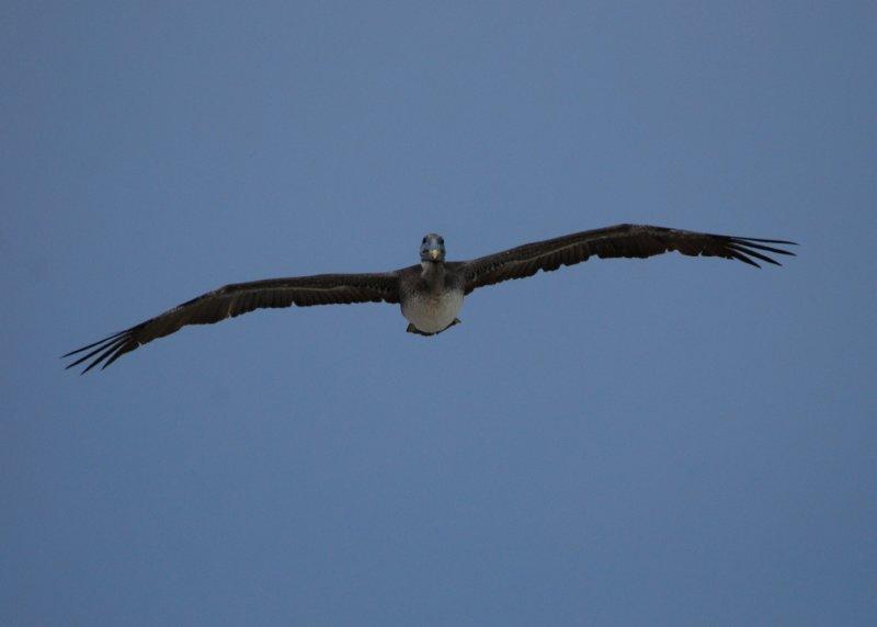 Brown Pelican_pez maya_in flight at me_4.JPG