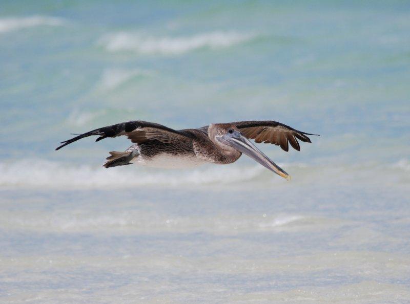 Brown Pelican_pez maya_in flight_2.JPG