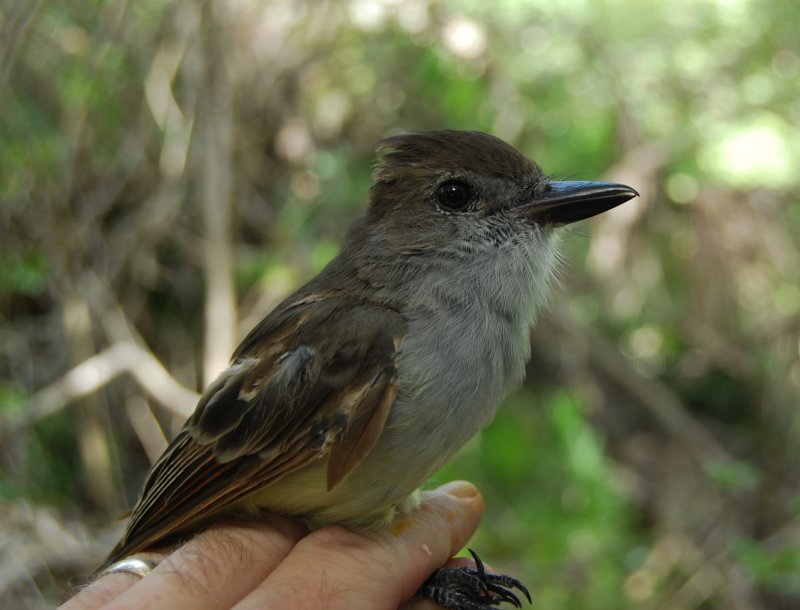Brown-crested Flycatcher_SJA.JPG