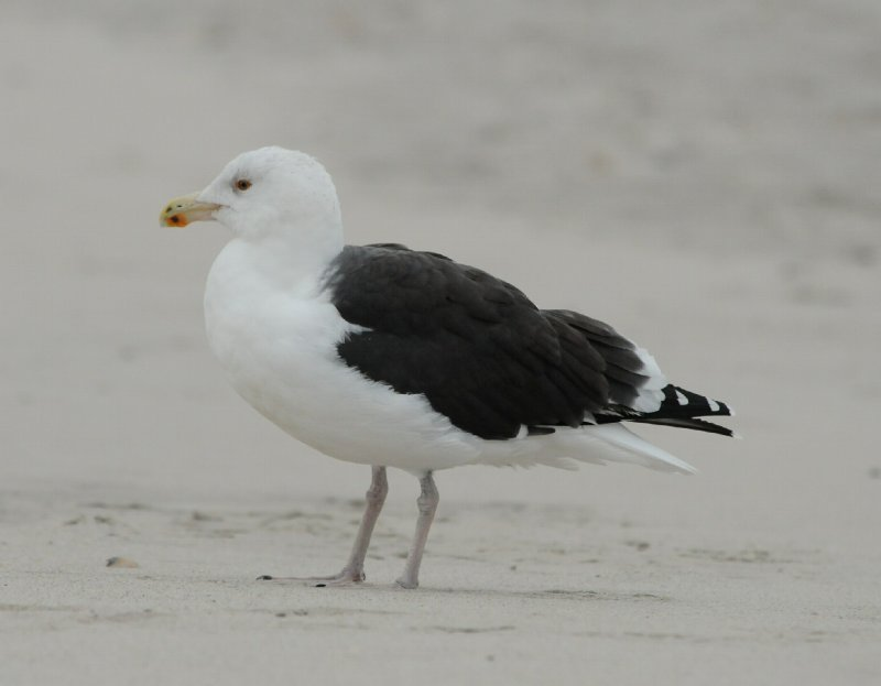 Great Black-backed Gull_Cape May_2_SS.jpg