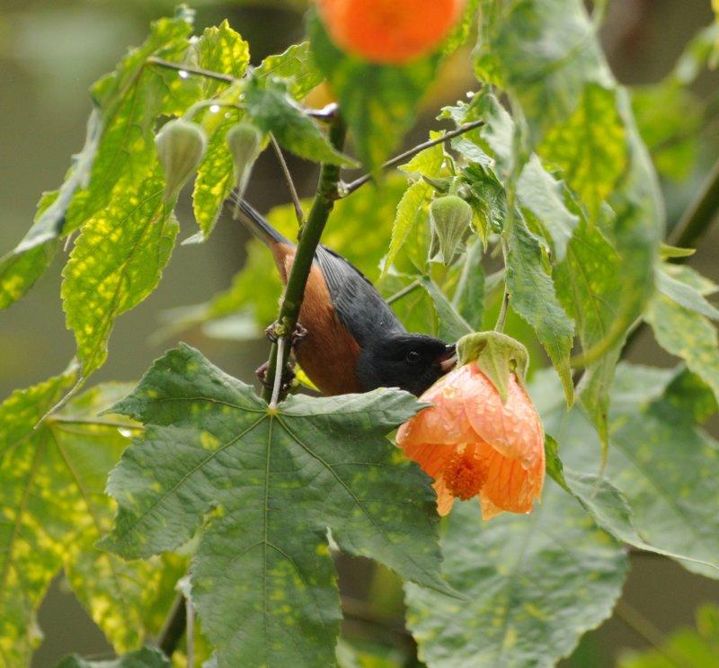 Cinnamon-bellied Flowerpiercer_male_Moxviquil