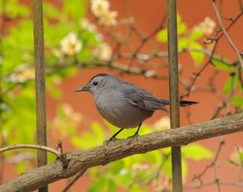 Gray Catbird_2_Moxviquil