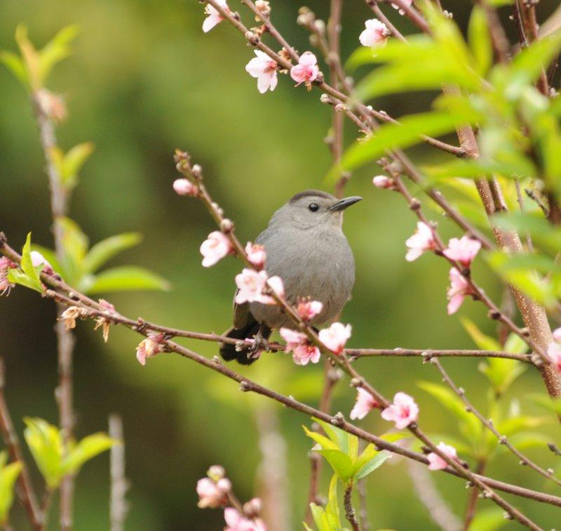 Gray Catbird_Moxviquil