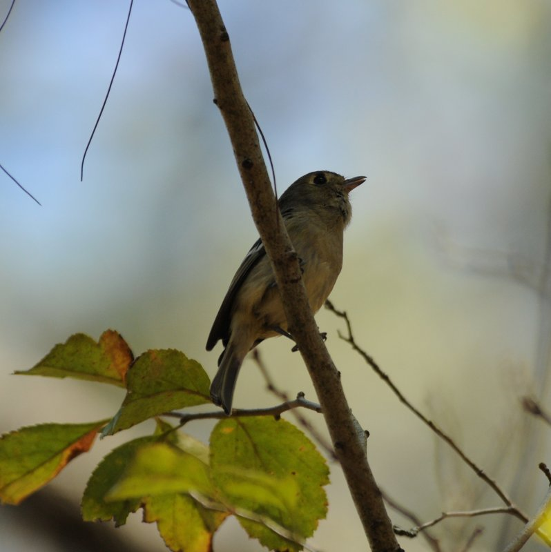 Huttons Vireo_Moxviquil