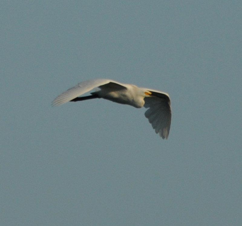 Snowy Egret adult