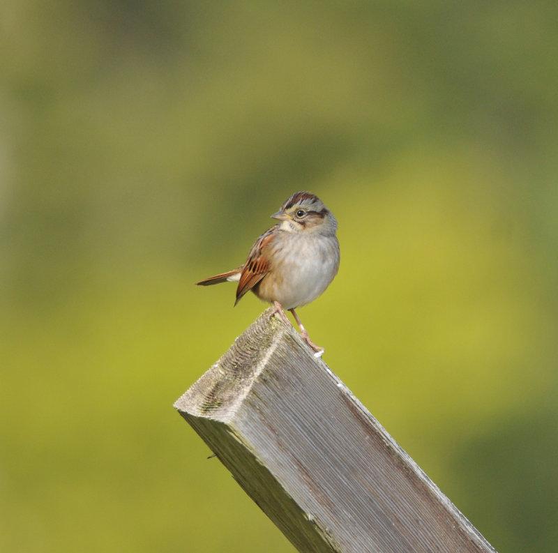 Swamp Sparrow, Stones River Battlefield, 9 Oct 12