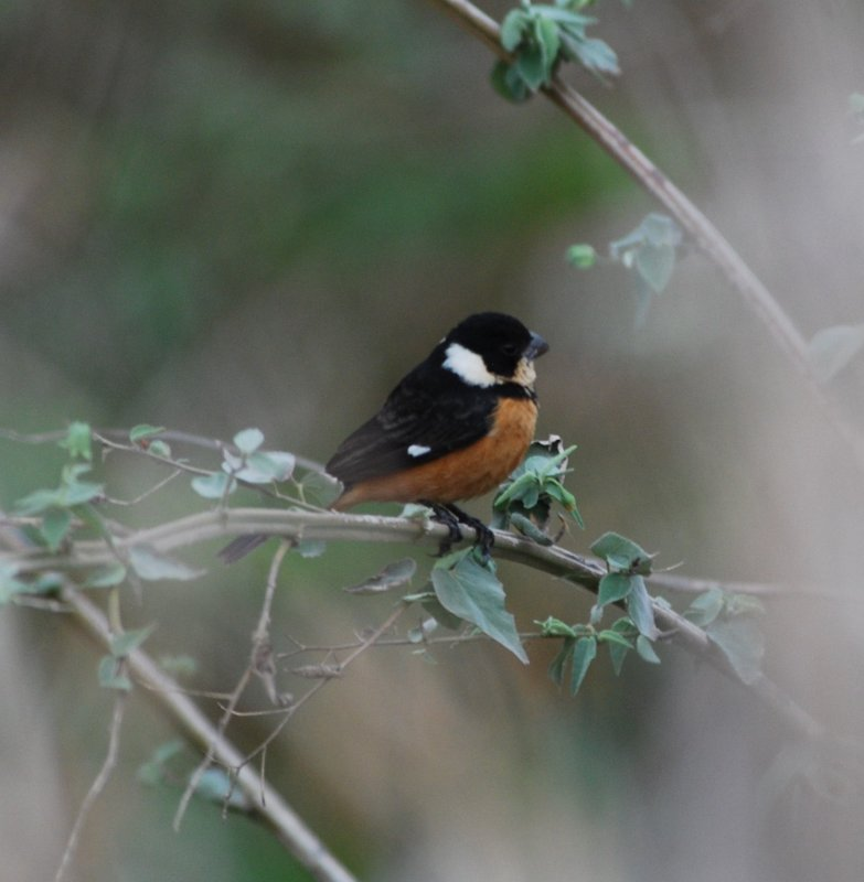 White-collared Seedeater_Hidalgo Pumphouse.JPG