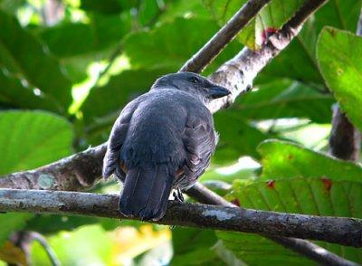 New Caledonian Cuckoo-shrike