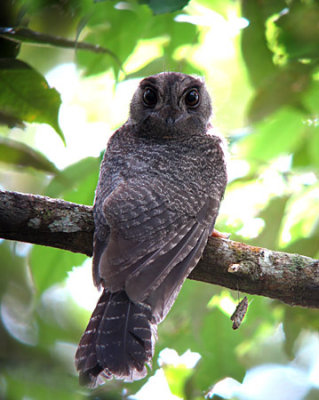 Barred Owlet-nightjar