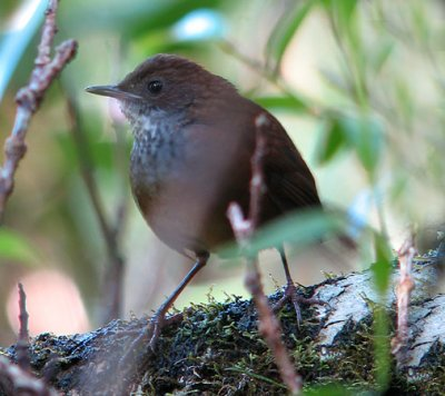 Kinabalu Friendly-Warbler (Friendly Bush-Warbler)