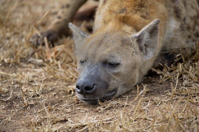HyenaNap.jpg