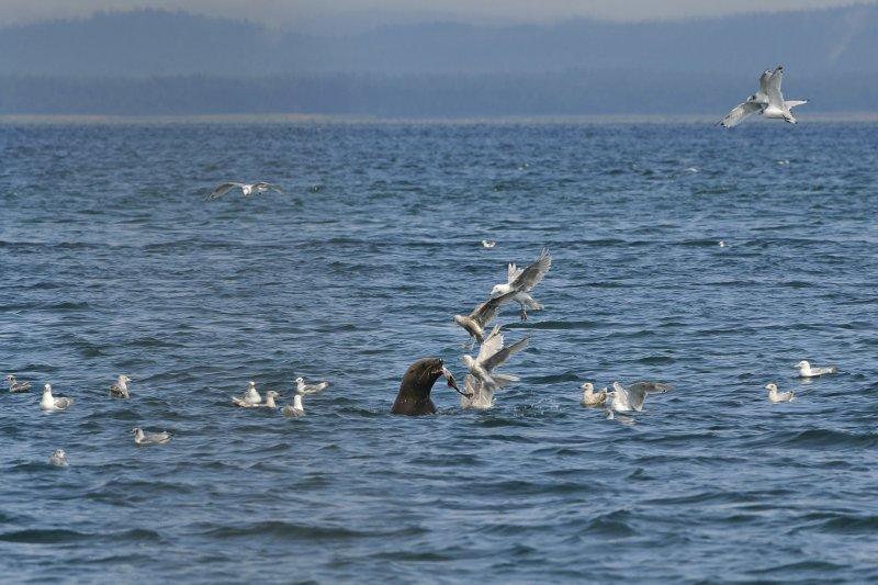 Sea Lion, Gulls, and a Salmon