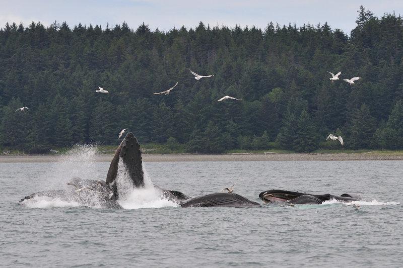AlaskaWhales09f.jpg