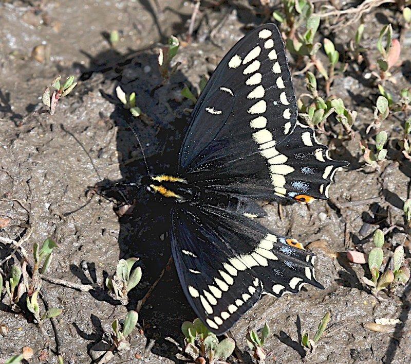 Indra Swallowtail