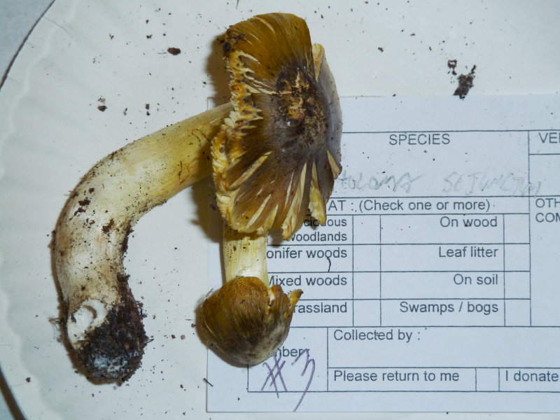 Tricholoma sejunctum1020822.jpg
