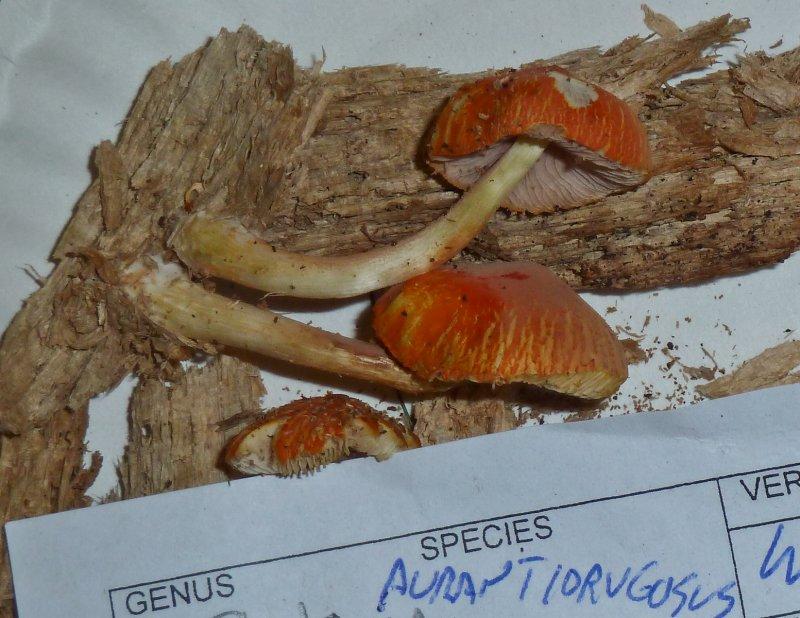 Pluteus aurantiorugosus1020806.jpg