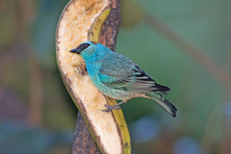 _MG_8935_Golden-naped Tanager.jpg