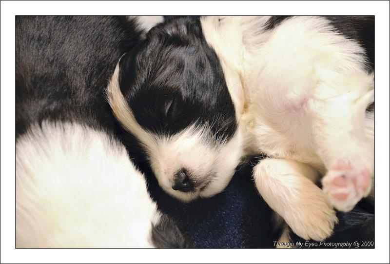Baileys Puppies