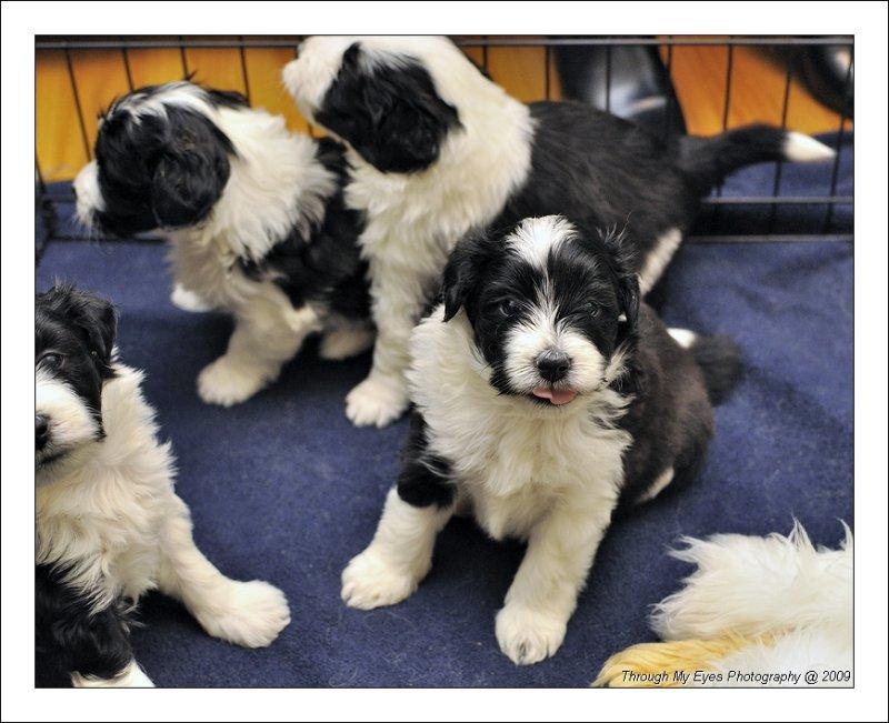 Baileys Puppies at 4 weeks