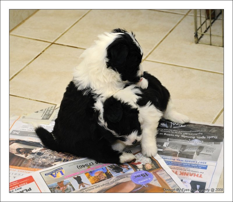Baileys Puppies at 5 weeks