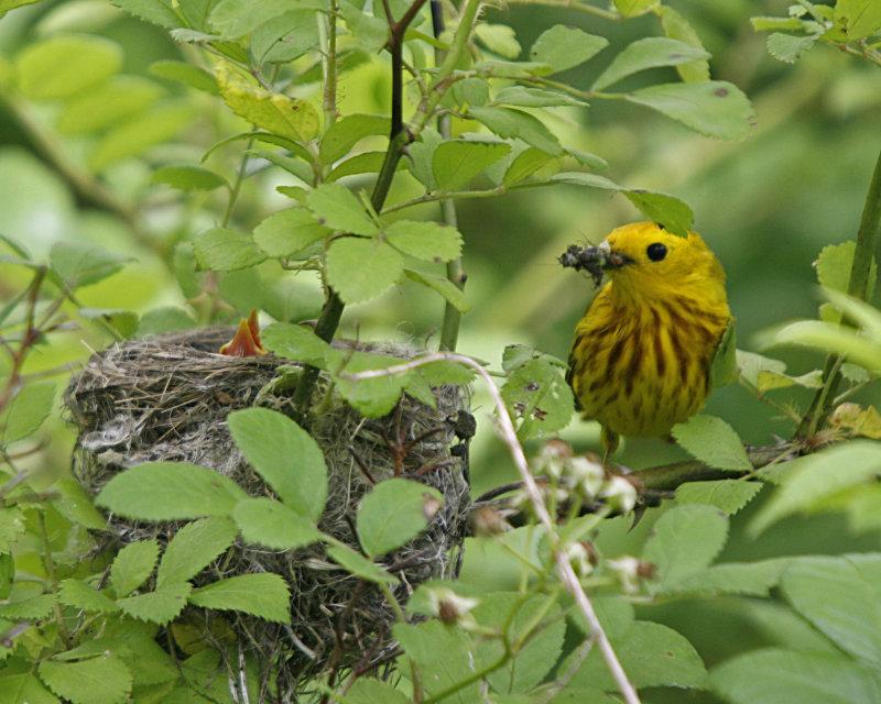 Yellow Warbler feeding time