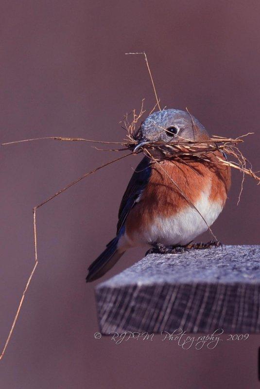 Eastern Bluebird  Mason Neck SP Va
