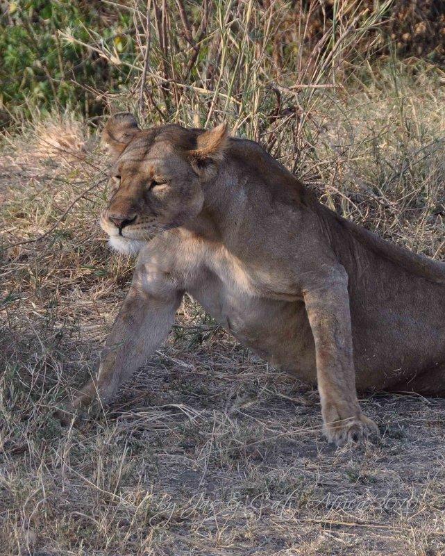 Lion  Wild  Africa 08-01-10.jpg