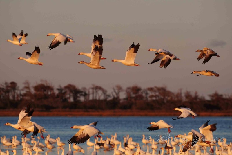 Snow Geese  Chincoteague NWR, Va