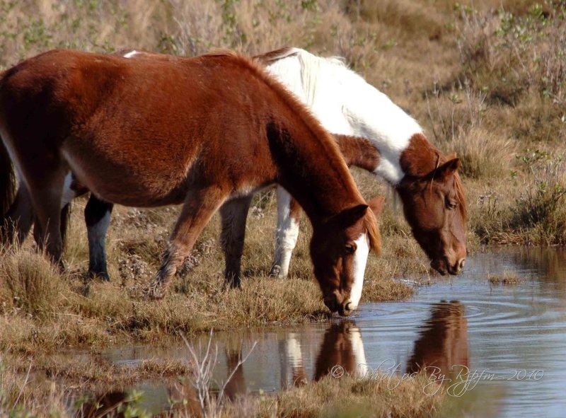 Wild Ponies Chincoteague NWR, Va