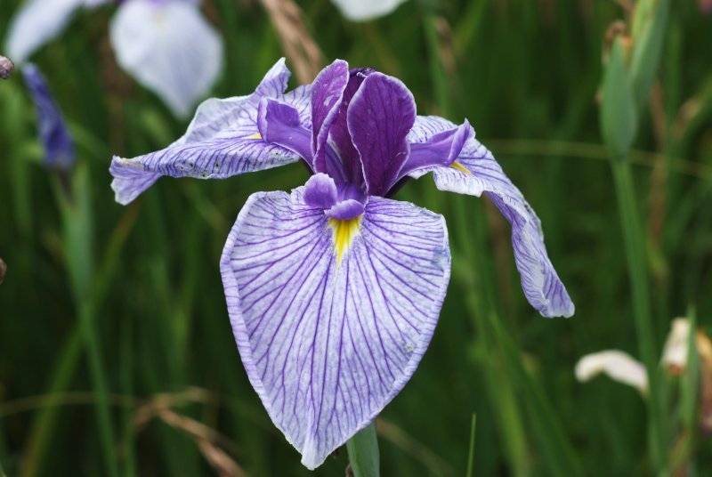 Hana-syoubu (Iris)