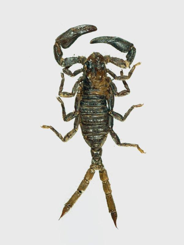 Gynandromorph  4 (two tail scorpion)