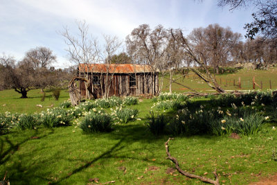 Old Line Cabin and Daffodils