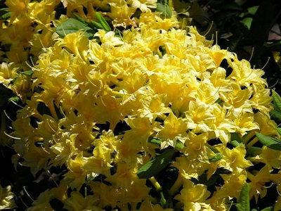 Narcissiflorum
