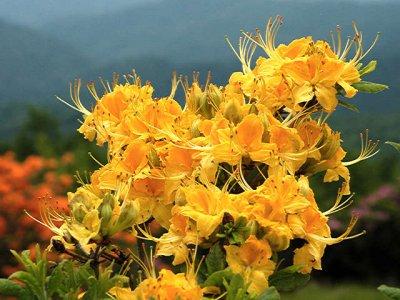 <i>calendulaceum</i> Compact Yellow *