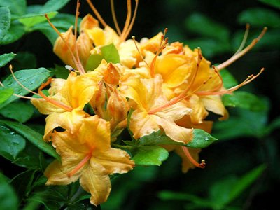 <i>calendulaceum</i> Hooper Tall Gold *