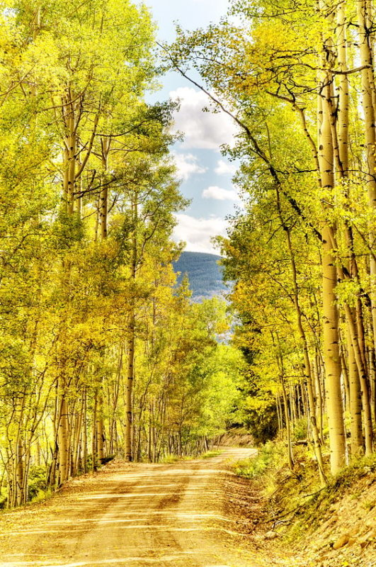 Aspens, Gunnison National Forest