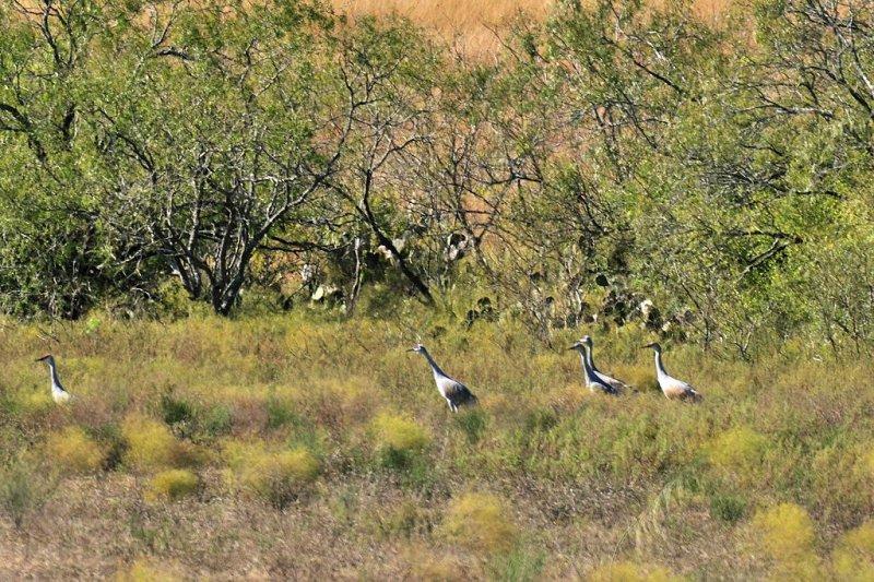 NOV_8689: Sandhill Cranes