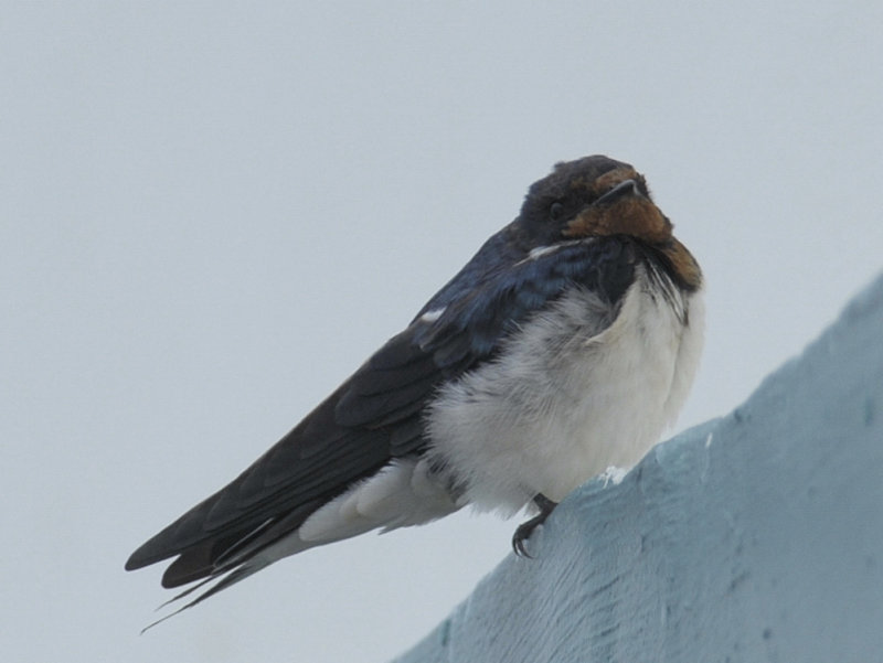 Swallow, Pacific