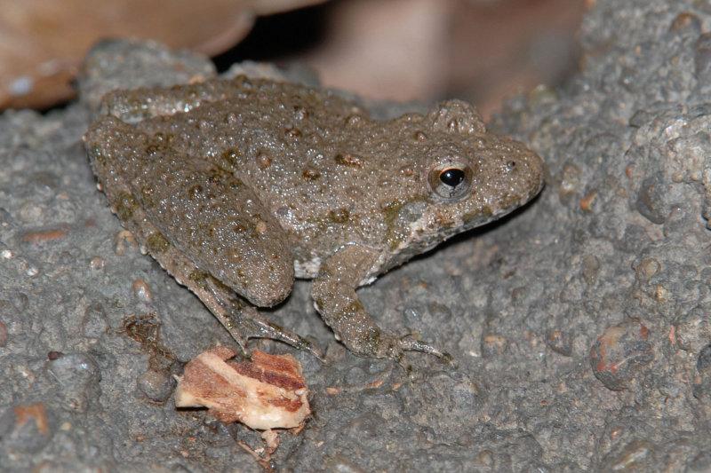 Blanchards Cricket Frog