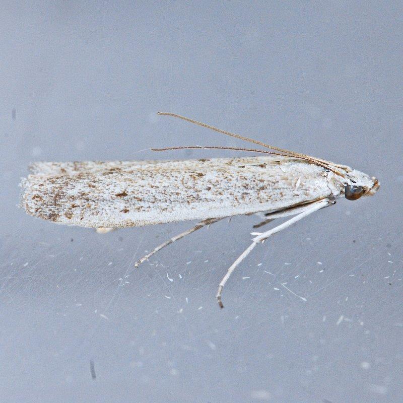 5939 Homoeosoma illuviella