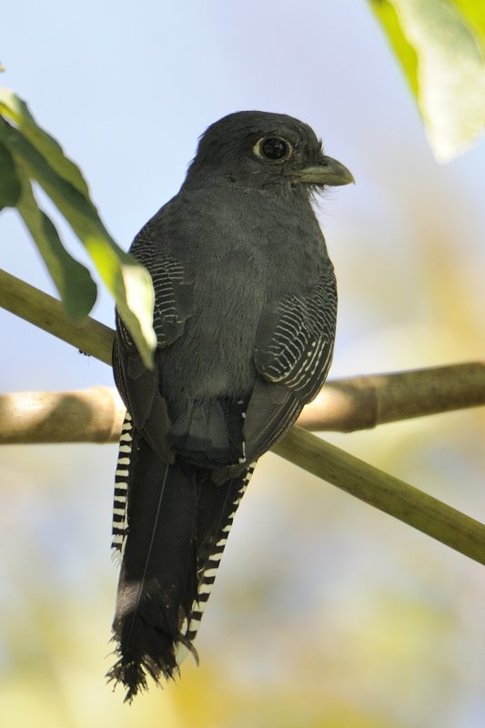 Blue-crowned Trogon - female