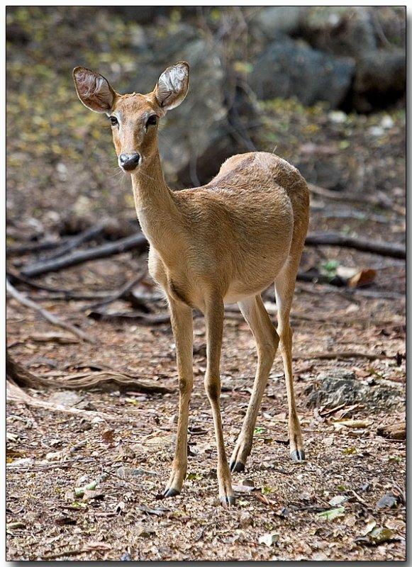 Elbs Deer - Tiger Temple, Thailand
