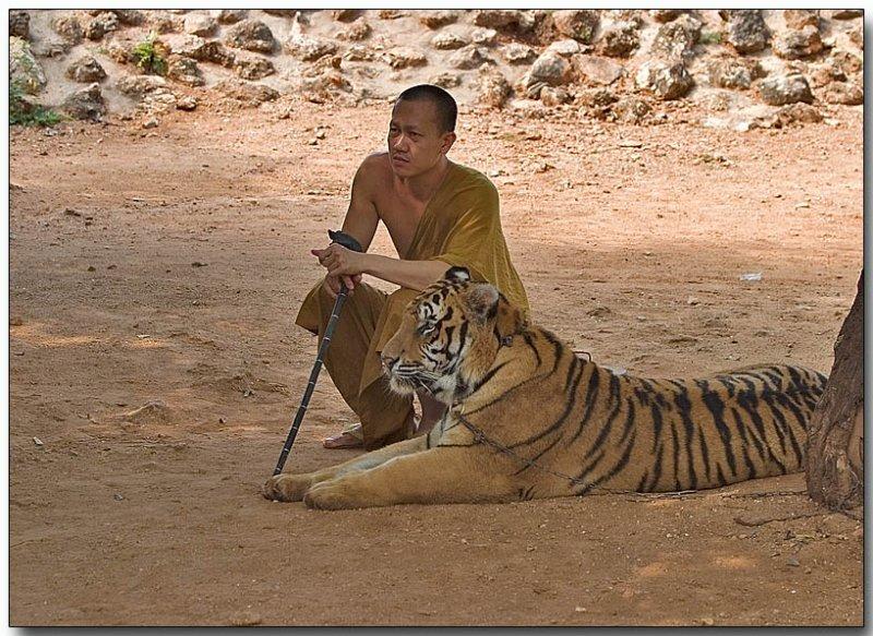 Bengal Tiger - Tiger Temple, Thailand
