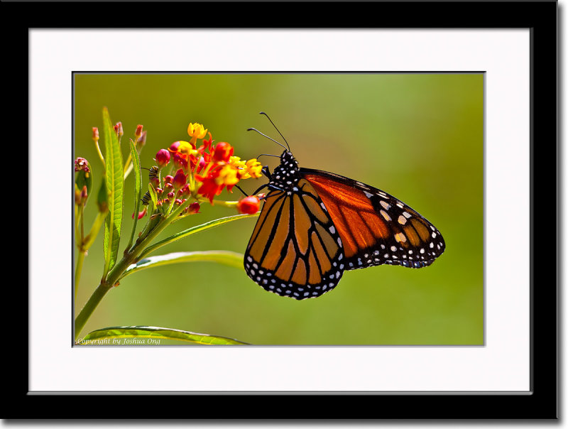 Monarch Butterfly and its Caterpillar