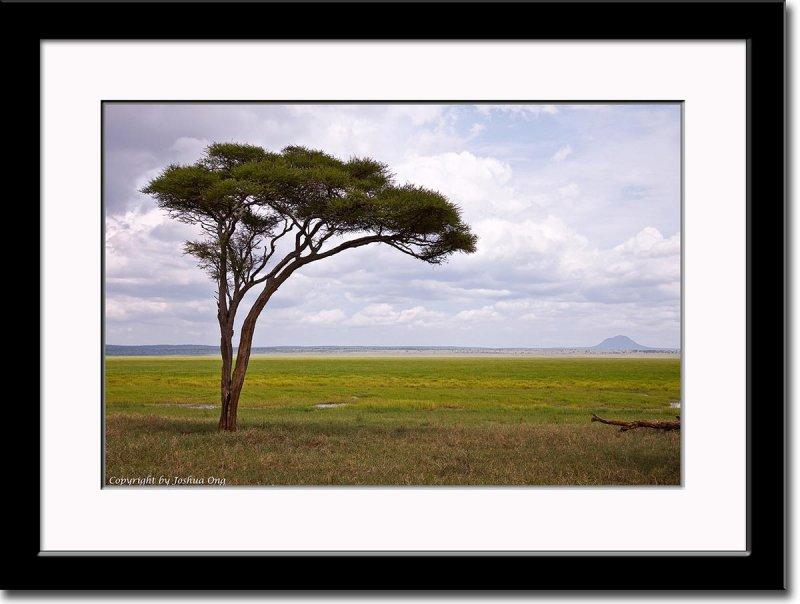 Sole Acacia Tree