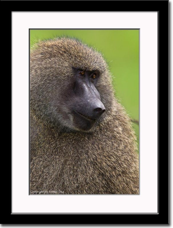 A Contented Baboon