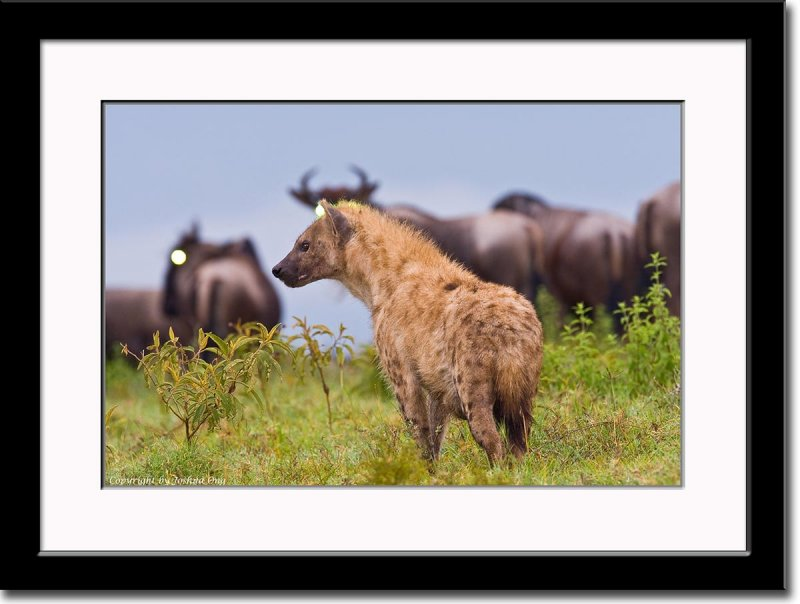 Hyena on the Lookout for a Weak or Newly Born Wildebeest