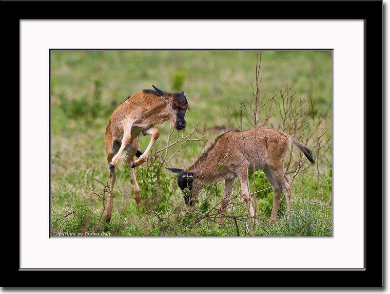 Playfull Wildebeest Calves