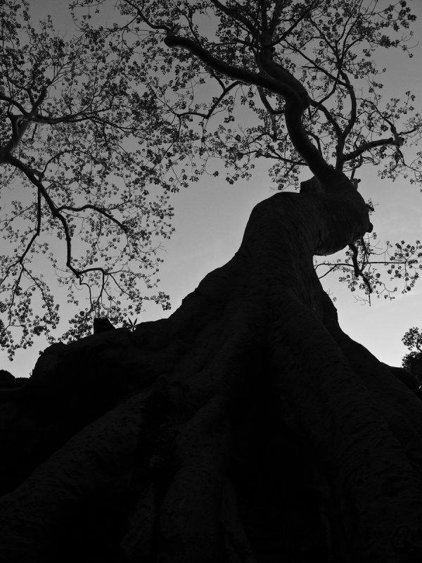 Big tree sepia.psd