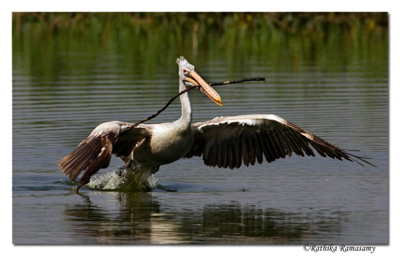 Collecting nesting material-Spot-billed Pelican-0378